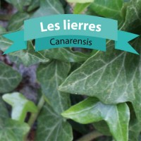 Canarensis