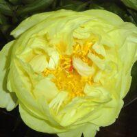 Lemon Chiffon1