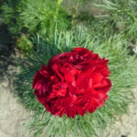 tenuifolia-rubra-plena